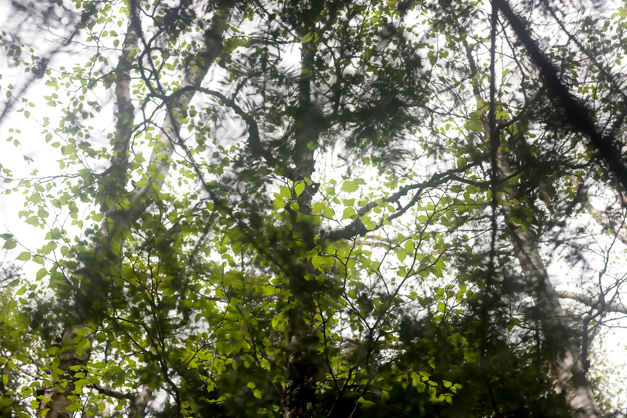 Abstracted tree branches, looking up through a forest.